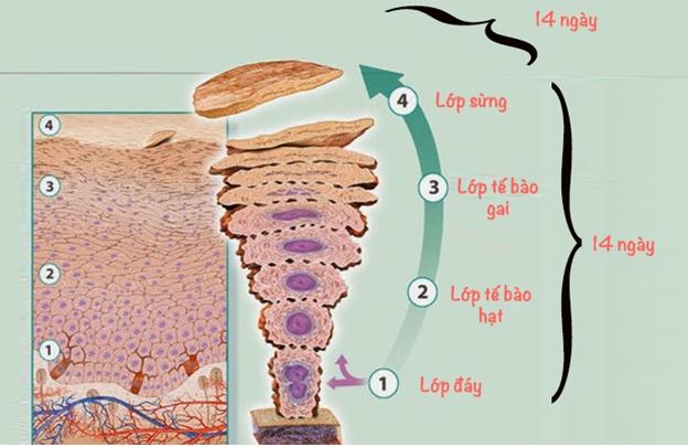 Chu trình tái tạo da